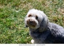 5 Best Dog Muzzles for Yorkipoos (Reviews Updated 2021)