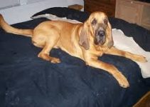 5 Best Dog Beds for Bloodhounds (Reviews Updated 2021)