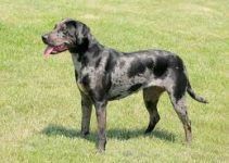 5 Dog Brushes for Catahoula Leopards (Reviews Updated 2021)