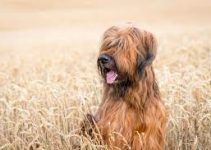 5 Best Dog Collars for Briards (Reviews Updated 2021)