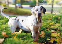 Dog Food For Catahoula Leopard