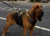 Dog Harness For Bloodhound