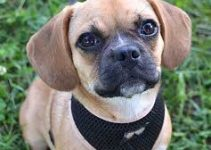 5 Best Dog Harnesses for Puggles (Reviews Updated 2021)