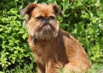 5 Best Dog Muzzles for Brussels Griffons (Reviews Updated 2021)