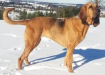 5 Best Dog Muzzles for Bloodhounds (Reviews Updated 2021)