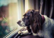 Dog Muzzle For English Springer