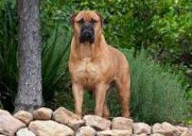 Dog Shampoo For Bullmastiff