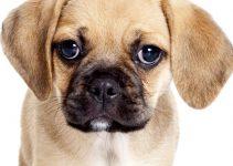 Dog Shampoo For Puggles