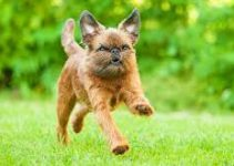 5 Best Dog Harnesses for Brussels Griffons (Reviews Updated 2021)