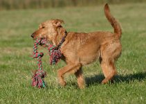 Irish Terrier Having Fun
