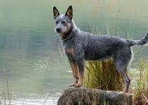 Puppy Food For Australian Cattle Dogs (reviews Updated 2020)
