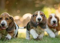 5 Best Puppy Foods for Basset Hounds (Reviews Updated 2021)