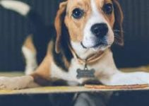 Puppy Food For Beagles (reviews Updated 2020)