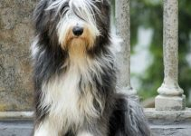 5 Best Puppy Foods for Bearded Collies (Reviews Updated 2021)