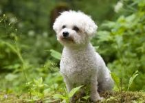 Puppy Food For Bichon Frise (reviews Updated 2020)