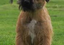 4 Best Puppy Foods for Border Terriers (Reviews Updated 2021)