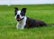5 Best Puppy Foods for Boston Terriers (Reviews Updated 2021)