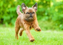 Puppy Food For Brussels Griffons