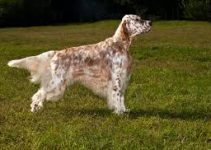 Puppy Food For English Setters