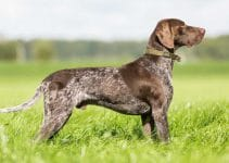 Puppy Food For German Shorthaired Pointers