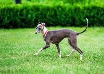 5 Best Puppy Foods for Italian Greyhound (Reviews Updated 2021)