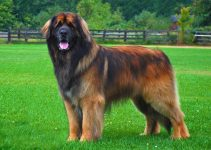 5 Best Puppy Foods for Leonbergers (Reviews Updated 2021)