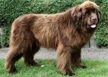5 Best Puppy Foods for Newfoundlands (Reviews Updated 2021)