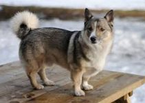 Puppy Food For Swedish Vallhunds