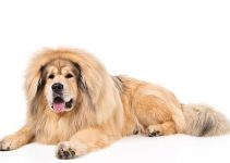 Puppy Food For Tibetan Mastiffs