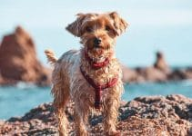 5 Best Puppy Foods for Yorkipoos (Reviews Updated 2021)