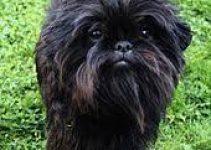 The Best Dog Collars For Affenpinschers