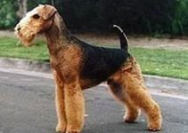The Top Training Texts For Airedale Terrier Owners