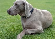 5 Best Dog Collars For Weimaraners (Reviews Updated 2021)