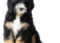 5 Best Dog Shampoos for Bernedoodles (Reviews Updated 2021)
