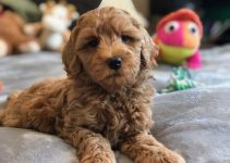 5 Best Dog Toys for Labradoodles (Reviews Updated 2021)