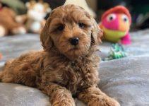 Dog Toys For Labradoodles