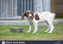 5 Best Puppy Foods for English Springer Spaniels (Reviews Updated 2021)