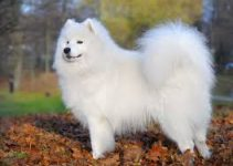 Puppy Food For Samoyed