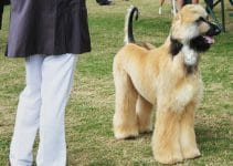 Afghan Collie Dog Breed Information – All You Need to Know