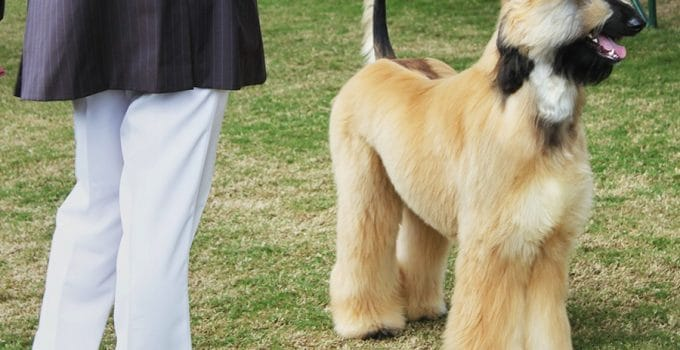 Afghan Collie Information – All You Need To Know