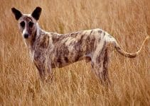 Africanis Dog Breed Information – All You Need to Know