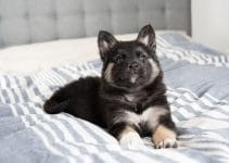 Aki-Poo Dog Breed Information – All You Need to Know