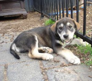 Alaskan Malador Dog Breed Information – All You Need To Know