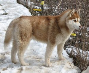 Alusky Dog Breed Information – All You Need To Know