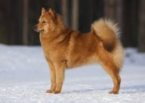 Best Dog Bed For Finnish Spitz