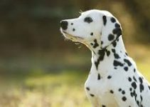 5 Best Dog Brushes for Dalmatians (Reviews Updated 2021)