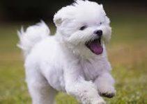 Best Dog Brush For Maltese