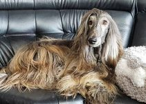 Best Dog Brushes For Afghan Hounds