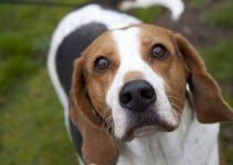 Best Dog Brushes For English Foxhounds