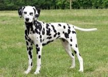 Best Dog Collar For Dalmatians